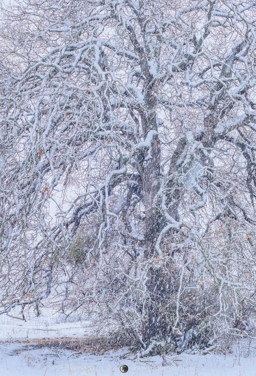 San Saba County, Texas Hill Country, Cross Timbers, winter, snow, blizzard, snowstorm, tree, post oak, Quercus stellata, photo