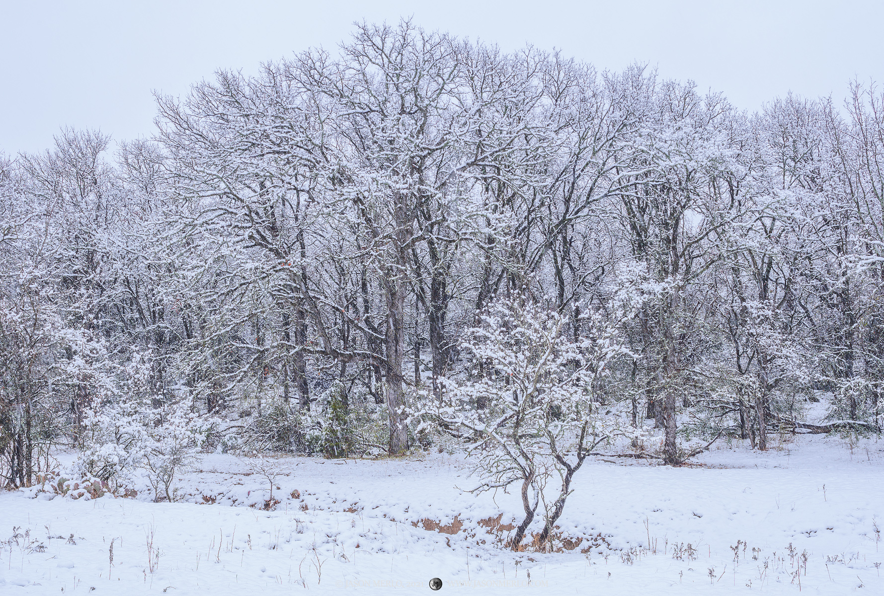 Cedar elm trees (Ulmus crassifolia)covered in snow after a rare snowstorm in San Saba County in the Texas Cross Timbers.