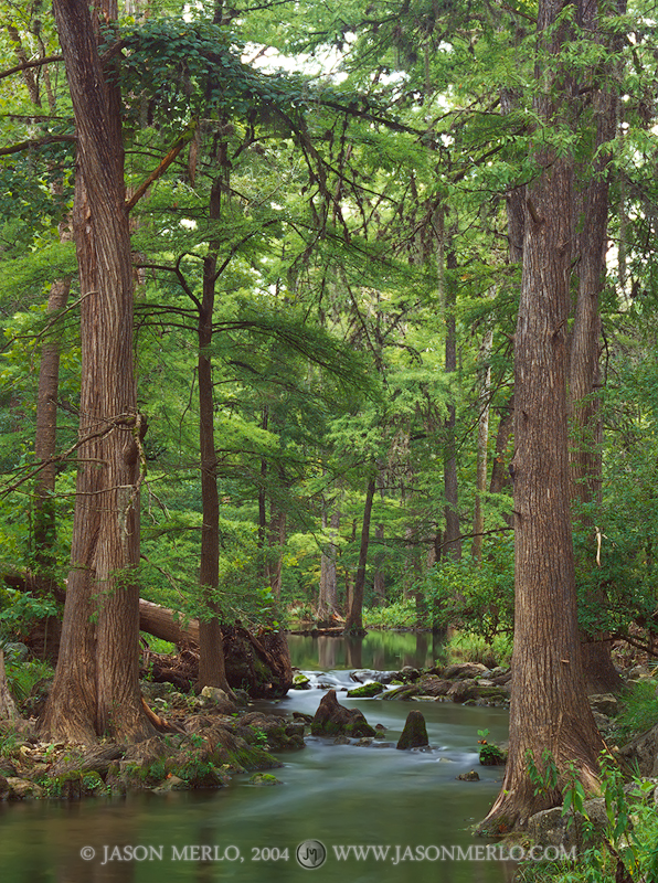 Honey Creek State Natural Area, Boerne, Guadalupe River State Park, Comal County, Texas Hill Country, cypress, trees, Taxodium distichum, photo