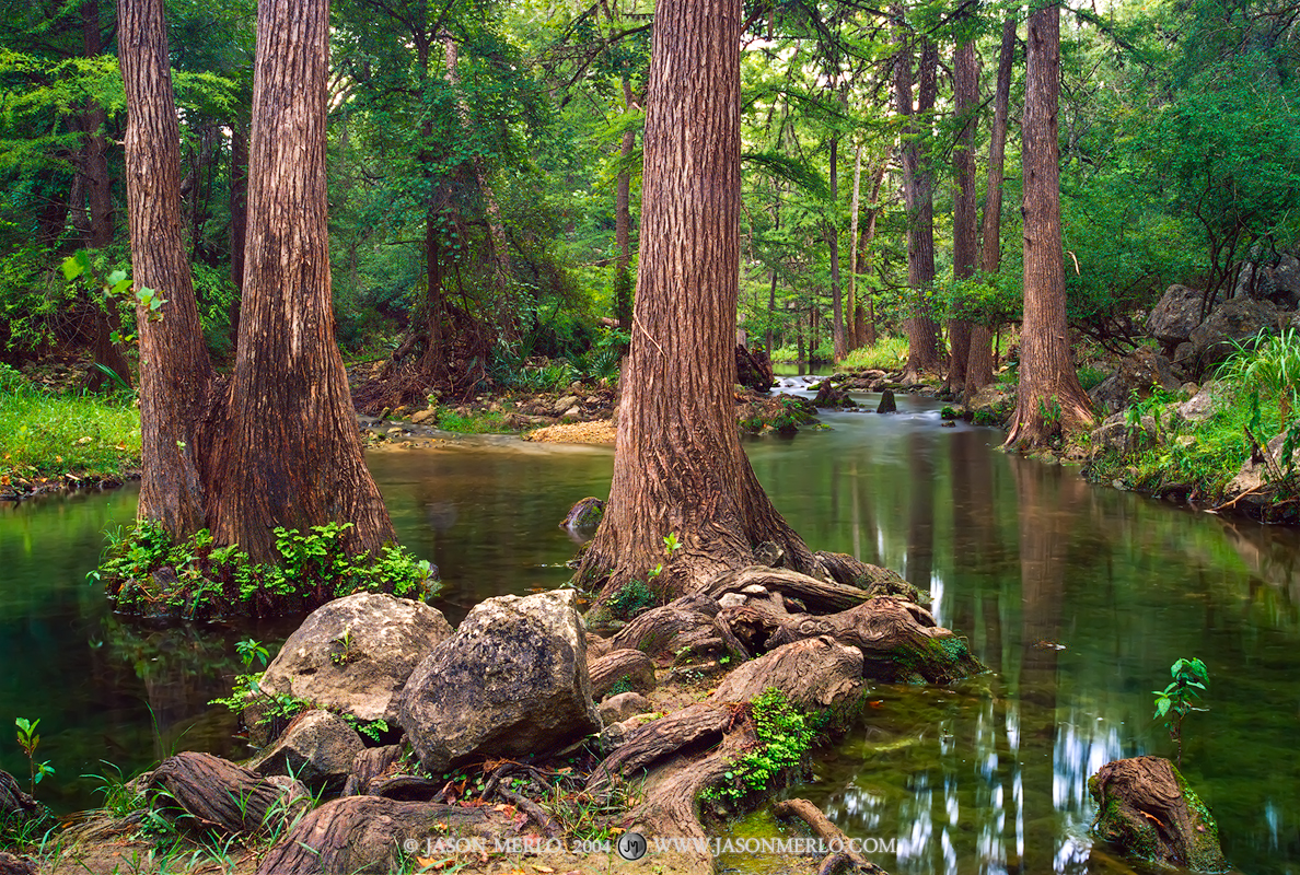 Honey Creek State Natural Area, Texas Hill Country, Comal County, Boerne, Guadalupe River State Park, cypress, trees, Taxodium distichum, photo