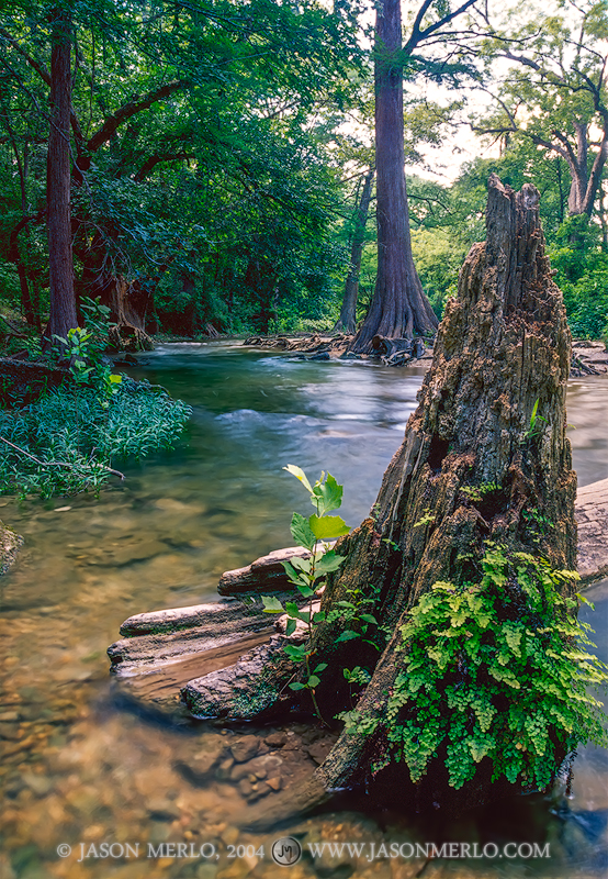 Texas Hill Country, Onion Creek, Taxodium distichum, bald cypress, photo