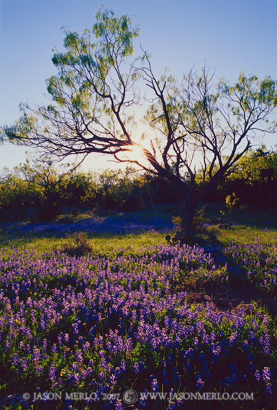San Saba County, Texas Cross Timbers, Texas Hill Country, mesquite, tree, Prosopis glandulosa, Texas bluebonnets, Lupinus texensis, wildflowers, photo