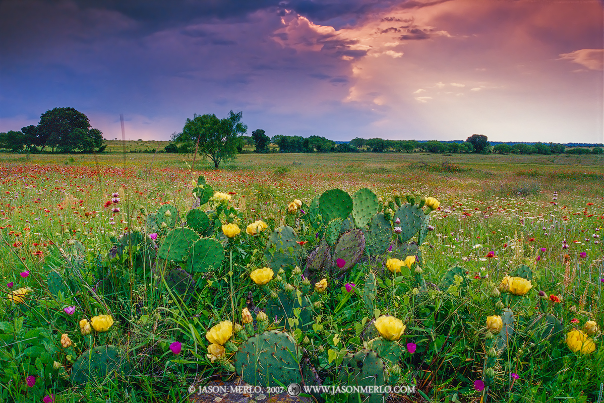 San Saba County, Texas Hill Country, Texas Cross Timbers, prickly pear cactus, Opuntia engelmannii, wildflowers, photo
